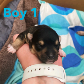 Mini Chihuahua puppies 3/4 cross with teacup dad