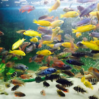 List of Cichlids For Sale (Minimum Purchase is 6 fish)