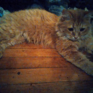 Male Long Haired Orange Tabby Needs a Good Home
