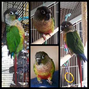 Rio-2 Year Old Yellow Sided Green Cheek Conure