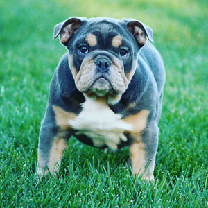 EXOTIC RARE BULLDOGS UPCOMING LITTERS