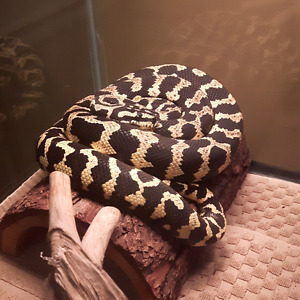 Trade jungle carpet python with everything for rc