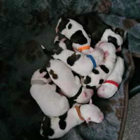 American bully xl pups