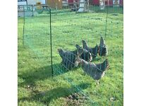 Electric chicken fencing 50m