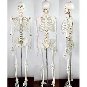 Life Size Human Skeleton Anatomical Medical Model Full Body 170cm 220272