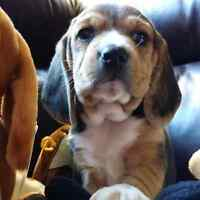 Registered Purebreed Beagle Puppies- BEST IN SHOW!