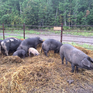 6 Sows and 1 Boar For Sale