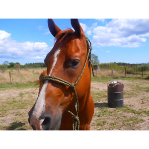 BOMB PROOF HORSE FOR SALE!  VIDEOS ATTACH *