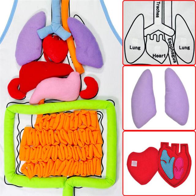 Human Body Anatomy Model Apron Heart Lung Kidney Child Kids Medical