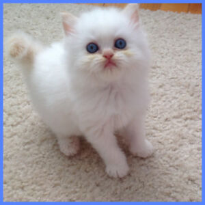 ❤️Adorable Pure Breed Flame Point Himalayan Male Kitten ❤️