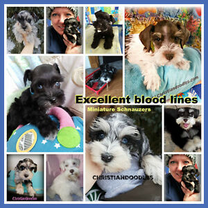 Miniature Schnauzers.Imported Lines. REPUTABLE Breeder