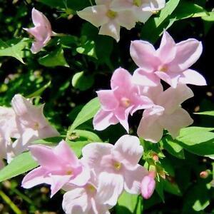 Climbing plants ebay jasmine climbing plants mightylinksfo