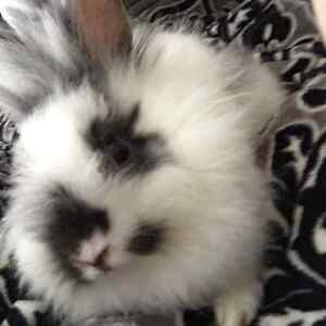 Lion Head Baby Rabbits For Sale!