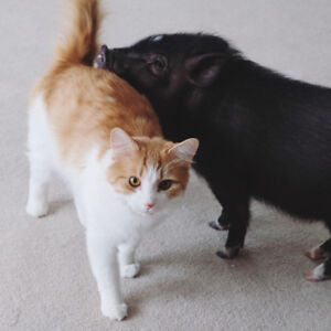 Adorable Mini Pig - In need of a loving home