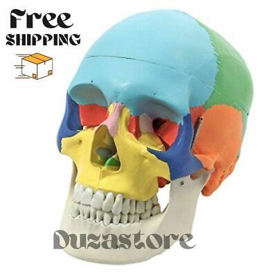 Human Skull Model Medical Skeleton Teaching Anatomy Colored Bones Head Medical M