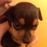 Chihuahua x pinsher