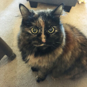 Beautiful female tort looking for a home - URGENT
