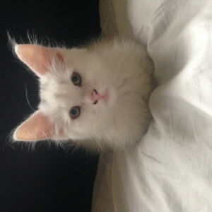 Playful, 3 month old male kitten