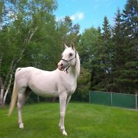 Registered Arabian Horse