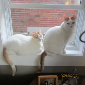 Two Loveable Twin Male Cats