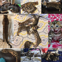 AVAIL NOW!Specially bred Champion TICA Registered BENGAL Kittens