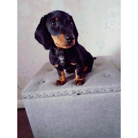 Dachshund boy puppy