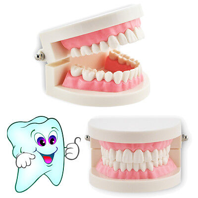 Dental Orthodontic Study Teach Tooth Standard Typodont Demonstration Teeth Model