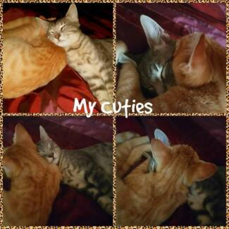 2 Gorgeous Kittens giveaway to good home