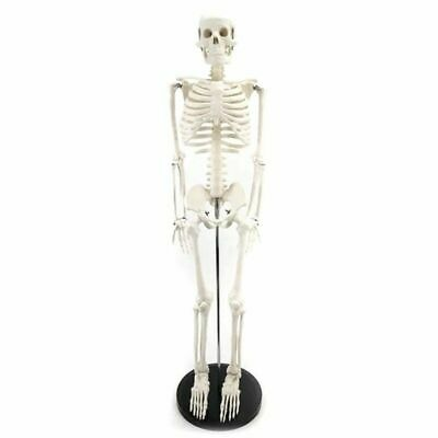 Medical Standard Anatomy Model Human Body Skeleton Science Laboratory Tools Used
