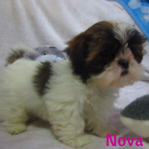 imperial shihtzu pups 3 months old, ready for new family homes