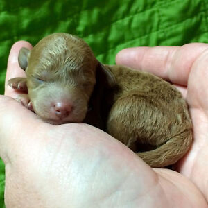**Miniature DOUBLE DOODLES Puppies (Labradoodle/Goldendoodle)**