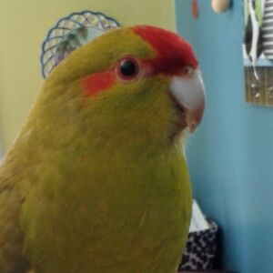 Kakariki à front rouge