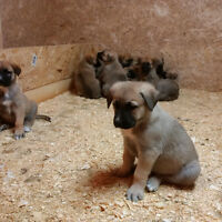 German Shepherd X Akbash Puppies