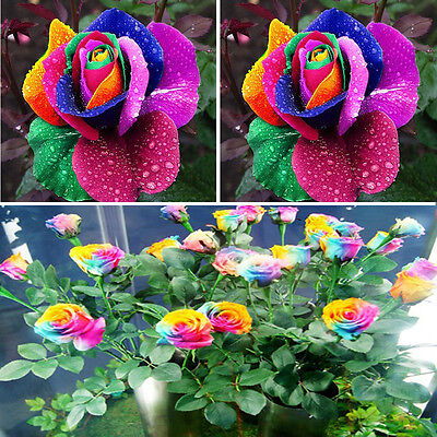 Beautiful 500Pcs Colorful Rainbow Rose Flower Seeds ...