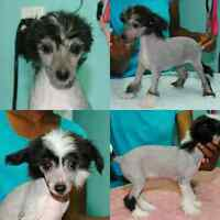Chinese Crested Puppies CKC Registered