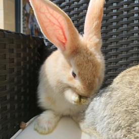 Giant Continental Baby Rabbits For Sale