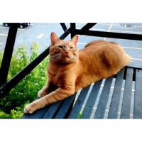Lost: Male Orange Tabby
