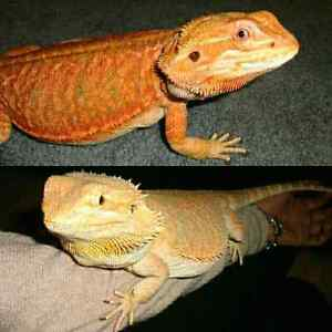 Two Beautiful Hypo Bearded Dragons with everything