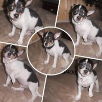 2 CHIHUAHUA  male  + 1F POMCHI  ( merle )REDUIT 50$