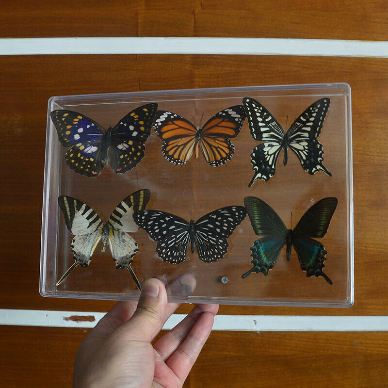 6pcs Pretty Butterfly Real Specimen Education Material Collection