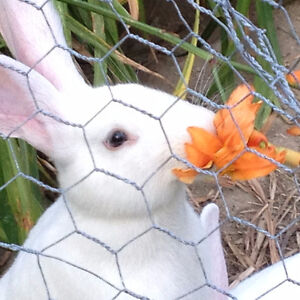 Fluffy New Zealand black or white bunnies