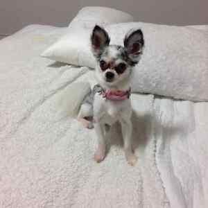 Chihuahua perdue RÉCOMPENSE 1000$