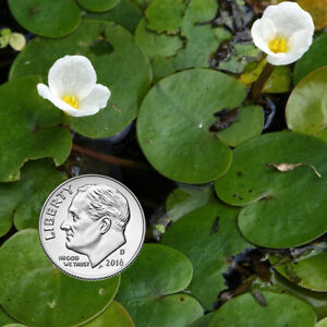 Frogbit floating plant for aquariums and ponds