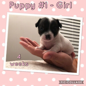 """5 weeks old! - Beautiful Purebred Deer-head Chihuahua Puppies"""