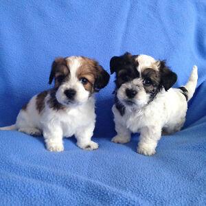 Gorgeous Teddybear Malshi-Poo Puppies