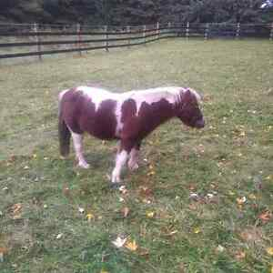 Mini Horse for Sale to a good Home