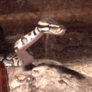 Sofia the snake with tank included looking for a home 350 obo.
