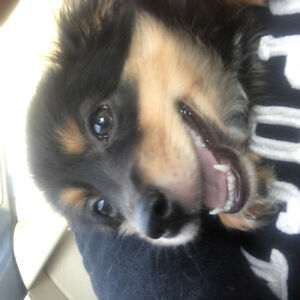 Adorable 4 month old male Pomchi puppy looking for his fur ever