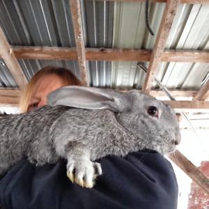 Flemish giant. Rabbits