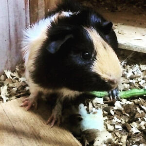 2 male g pigs for sale